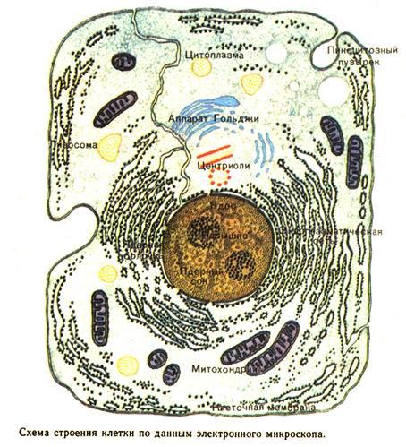клеток в симбиозе.